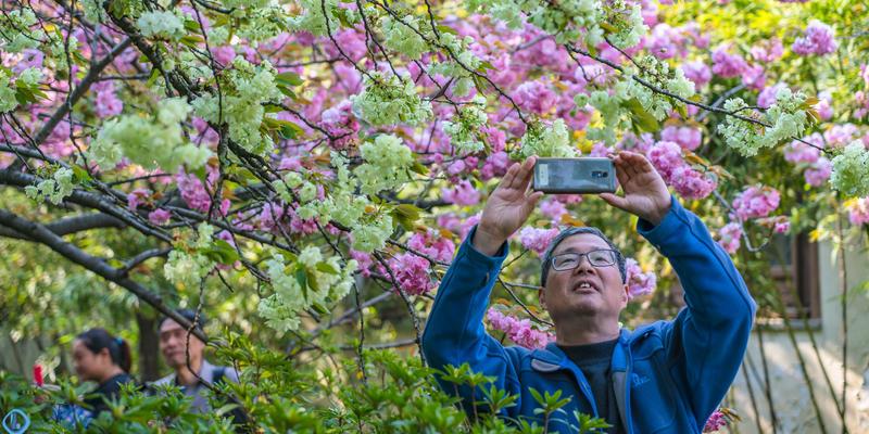 有一种开着绿色花朵的樱花,你可曾亲眼目睹过吗