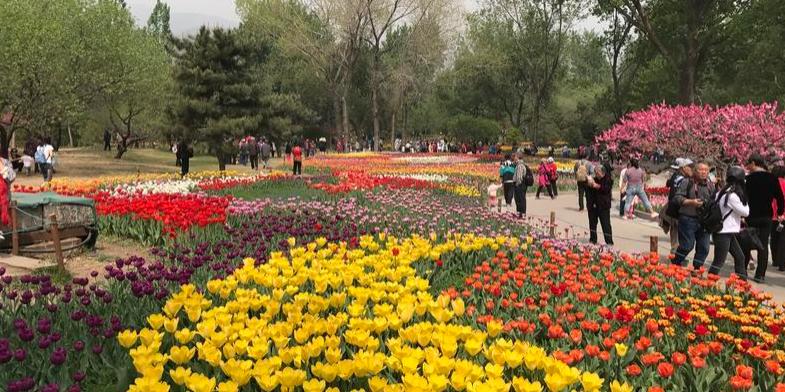 """北京植物园里好像跳进了郁金香""""海"""""""
