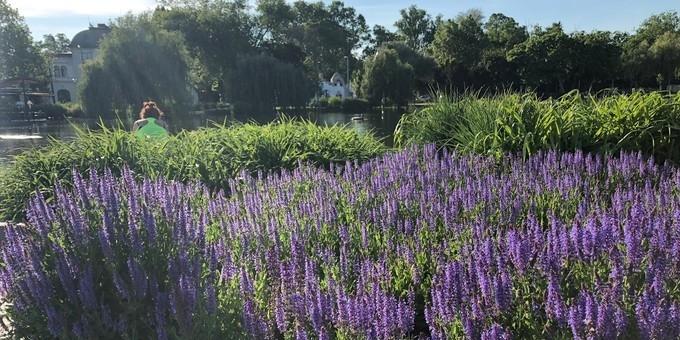 午后前来城市公园散步看那满园薰衣草