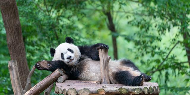 探索卧龙告诉大家给大熊猫做保姆是什么感觉