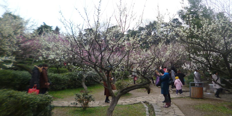 南京古林公园梅岭一日游